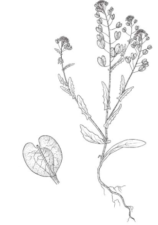 Sketch-of-Field-penny-cress