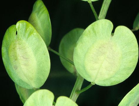 Unripe-fruit-of-Field-penny-cress