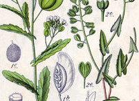 Plant-Illustration-of-Field-penny-cress