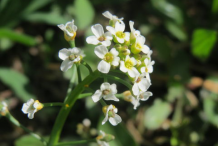 Flower-of-Field-penny-cress