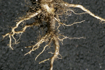 Root-of-Field-penny-cress