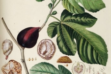 Fig-plant-illustration