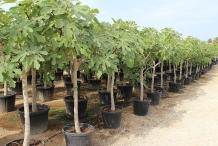 Fig-plantation