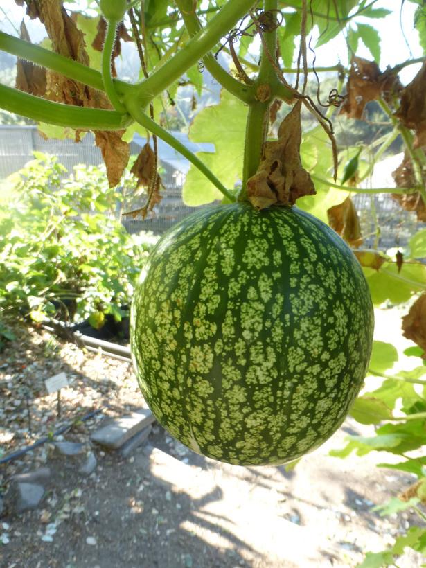 Figleaf-gourd-fruit