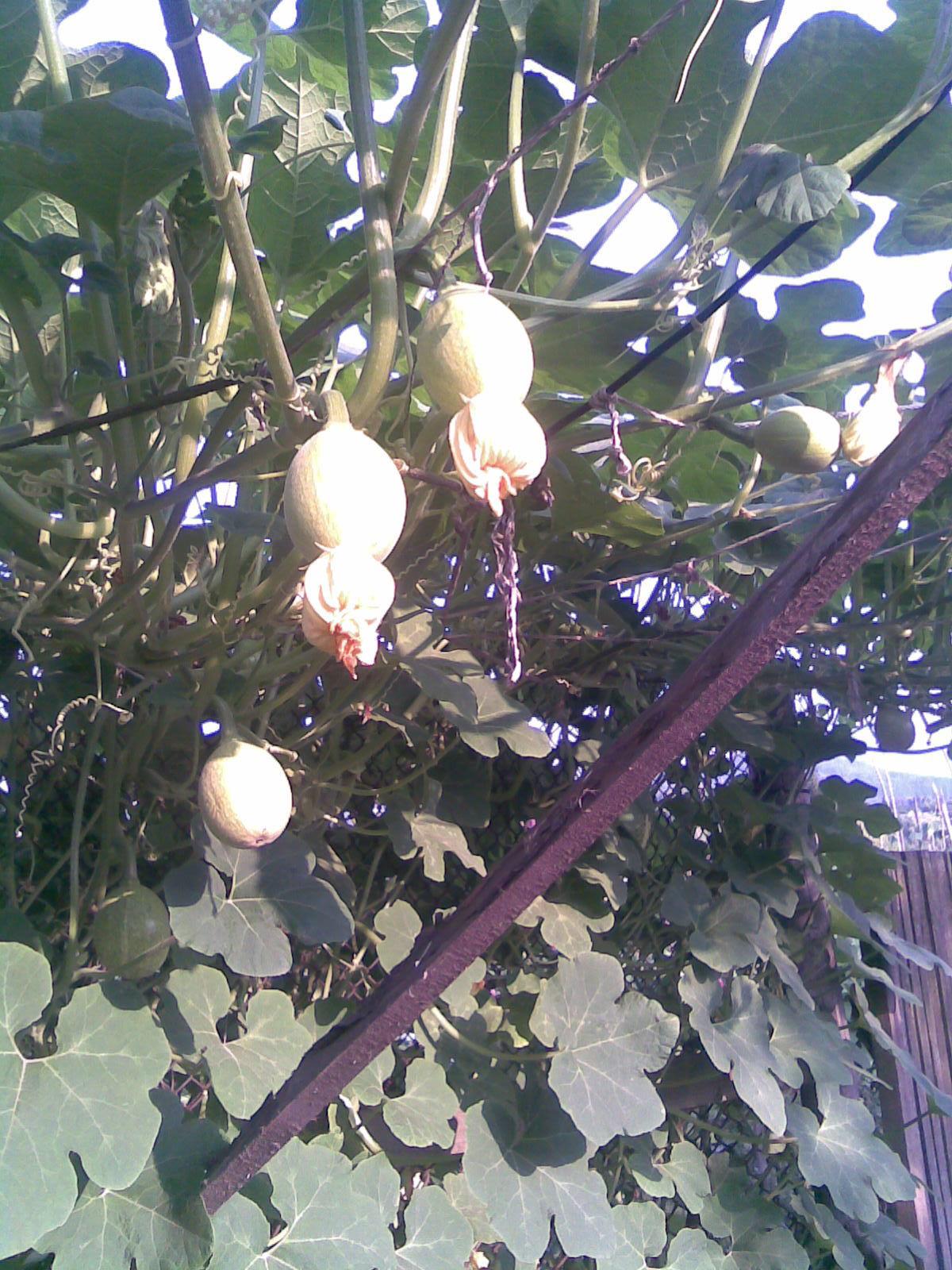 Unripe-Figleaf-gourd