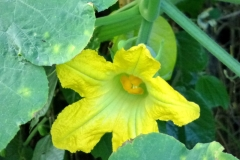 Close-view-of-Figleaf-gourd-flower