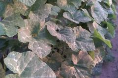 Figleaf-gourd-leaves