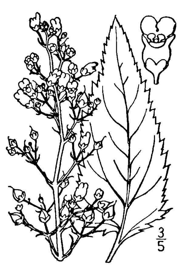 Drawing-of-Figwort