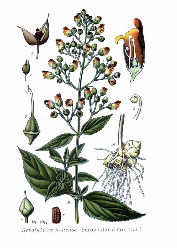Illustration-of-Figwort