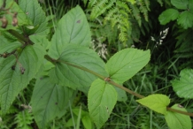 Figwort-leaves