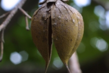 Figwort-seed-pod