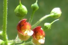 Figwort-flower