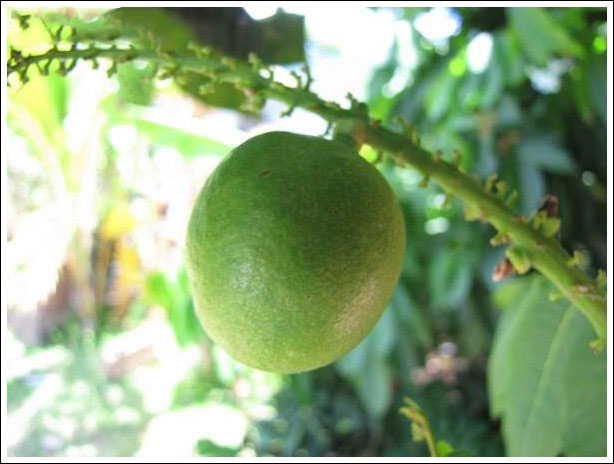 Closer-view-of-unripe-fruit-of-Fiji-Longan
