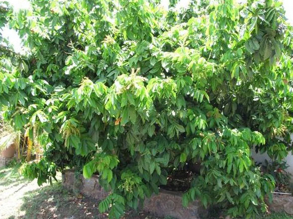 Fiji-Longan-plant