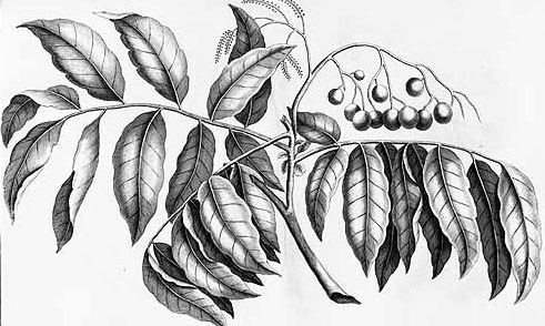 Plant-Illustration-of-Fiji-Longan