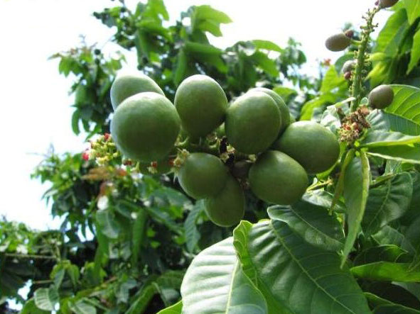 Unripe-Fiji-Longan-on-the-tree