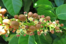Flowers-and-fruits-of-Fiji-Longan