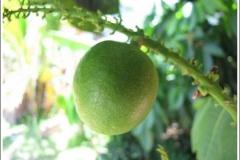 Closer-view-of-unripe-fruit-of-Fiji-Longan