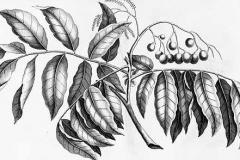 Plant-Illustration-of-Fiji-Longan