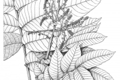 Sketch-of-Fiji-Longan