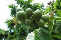 Unripe-Fiji-Longan-on-the-tree