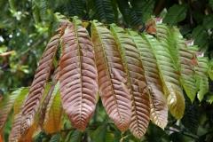 Young-leaves-of-Fiji-Longan