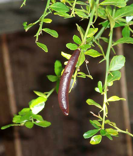 Finger-Lime-Fruit-on-the-plant