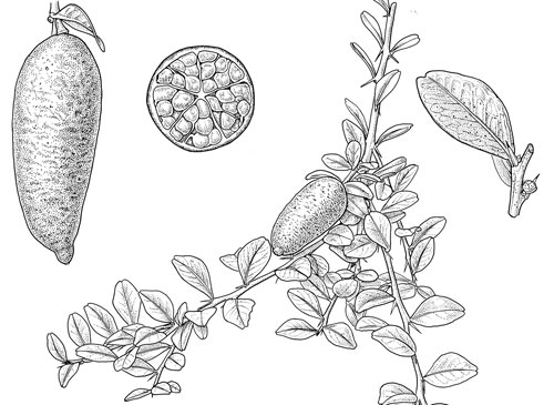 Plant-Illustration-of-Finger-Lime