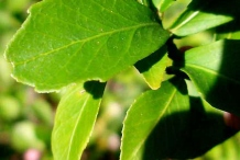 Closer-view-of-leaves-of-Finger-Lime