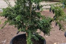 Finger-Lime-plant