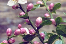 Flower-and-flowering-buds-of-Finger-Lime