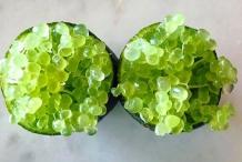 Round-vesicles-of-Finger-Lime