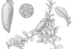 Plant-Illustration-of-Finger-Lime