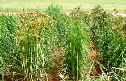 Finger-millet-plant