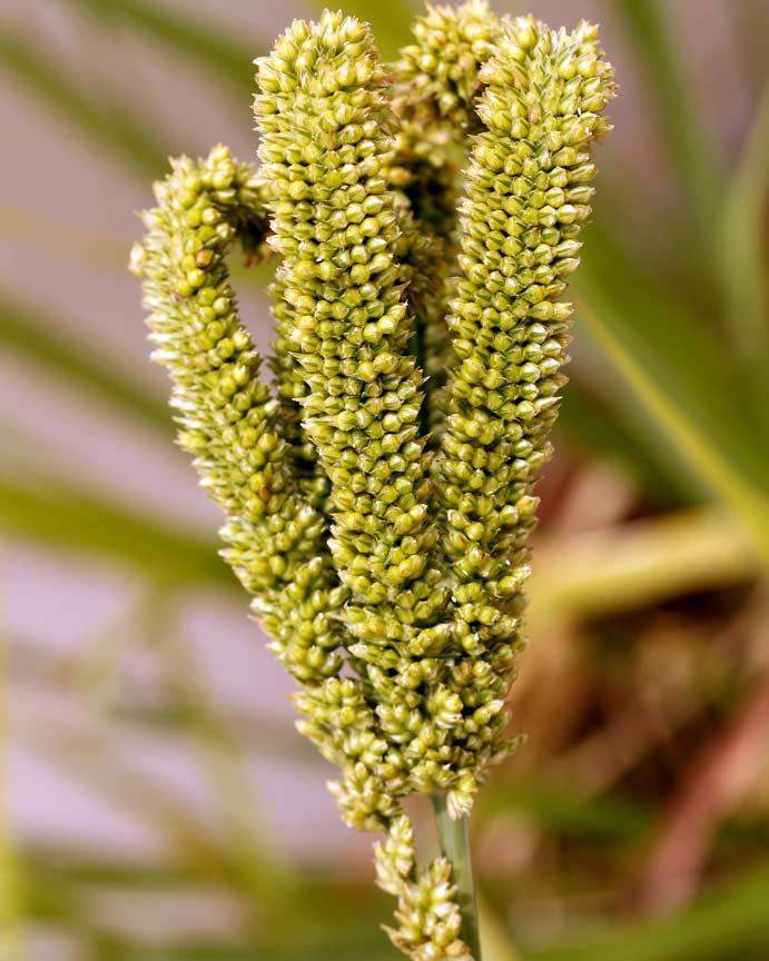Immature-finger-millet-crop