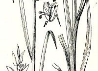 Sketch-of-Finger-millet