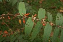 Fire-flame-bush-leaves-Dawai