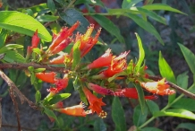 Fire-flame-bush-flower-Dhai