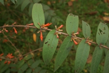 Fire-flame-bush-leaves-Dawai