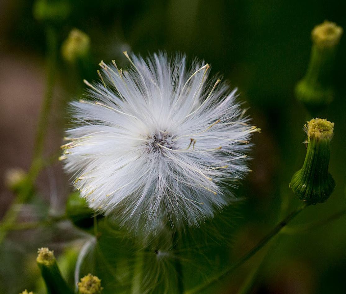 Fireweed-flower