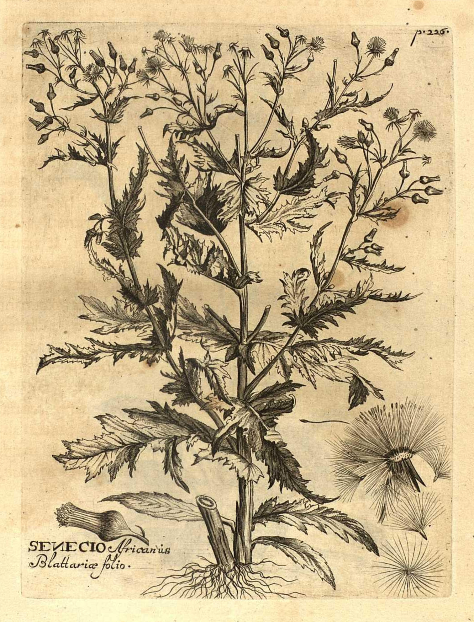 Plant-illustration-of-fireweed