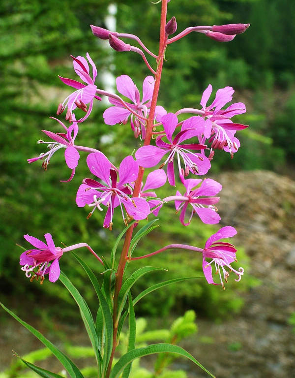 Flowers-of-Fireweed