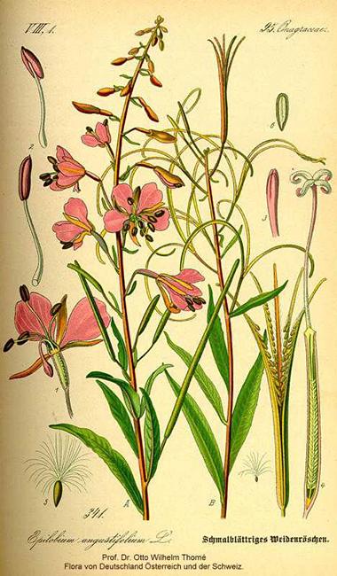 Plant-illustration-of-Fireweed