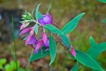 Fireweed-flower-buds