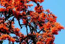 Flame-of-the-Forest-Flowers-on-the-tree