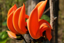 Flower-of-Flame-of-the-Forest