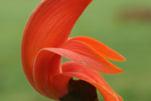 Single-Flame-of-the-Forest-Flower