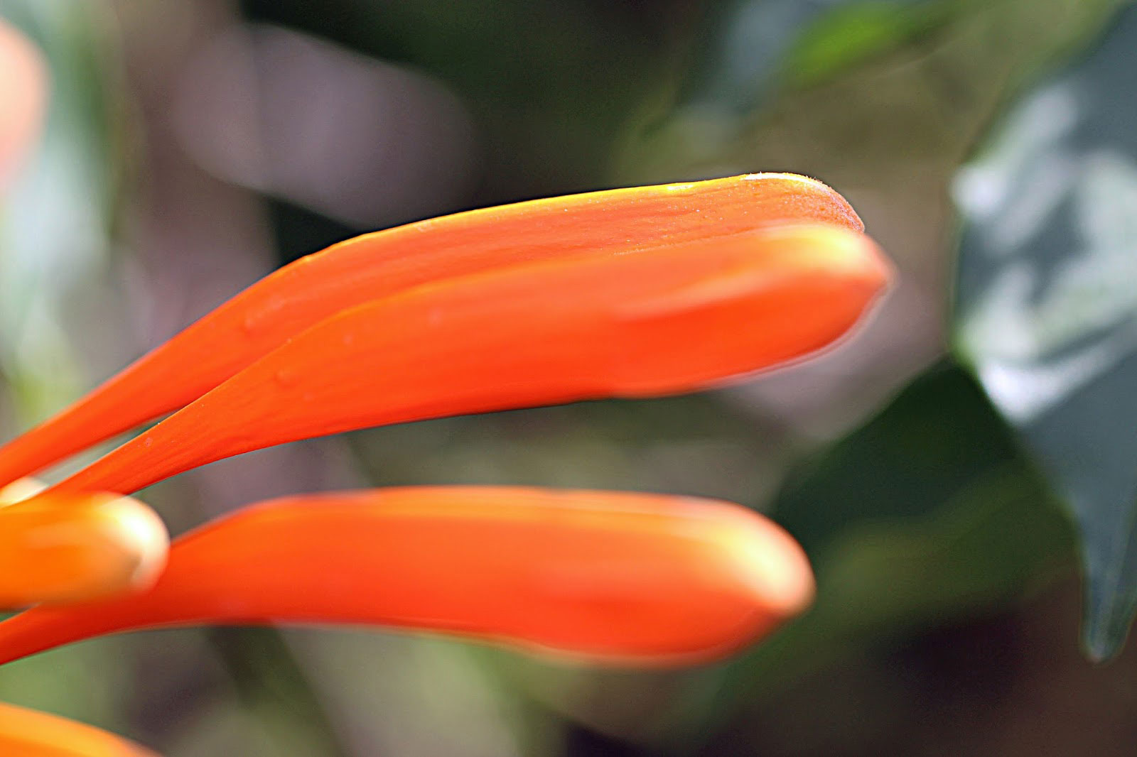 Closer-view-of-buds-of-Flamevine