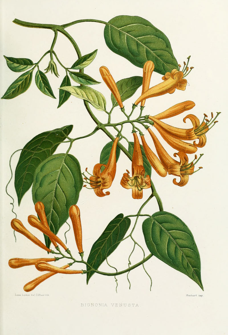 Plant-illustration-of-Flamevine