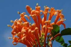 Flamevine-Flower